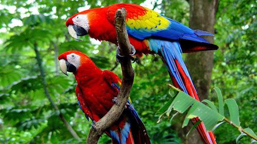 Carara National Park Scarlet Macaw